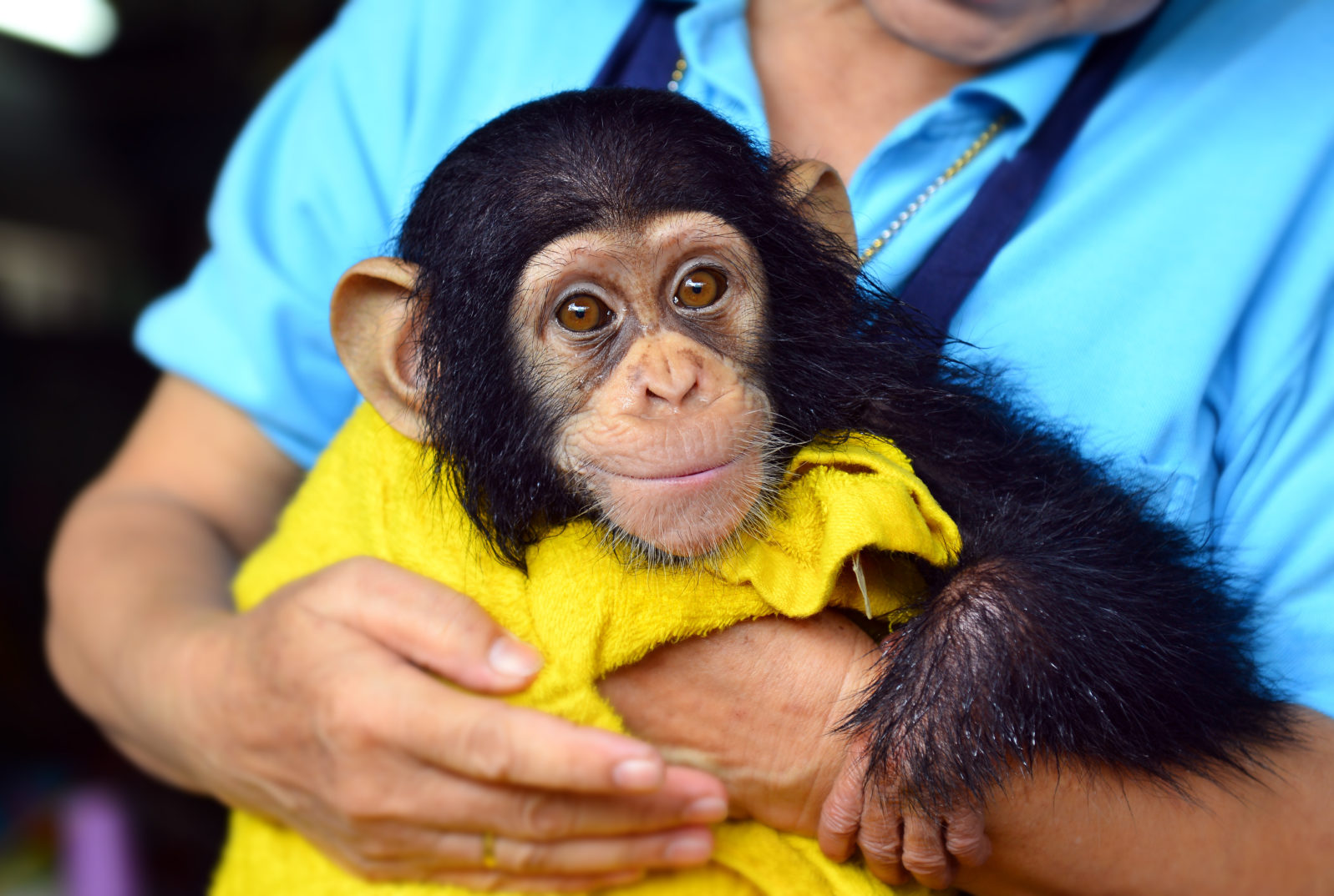 baby chimpanzee ape at the zoo.