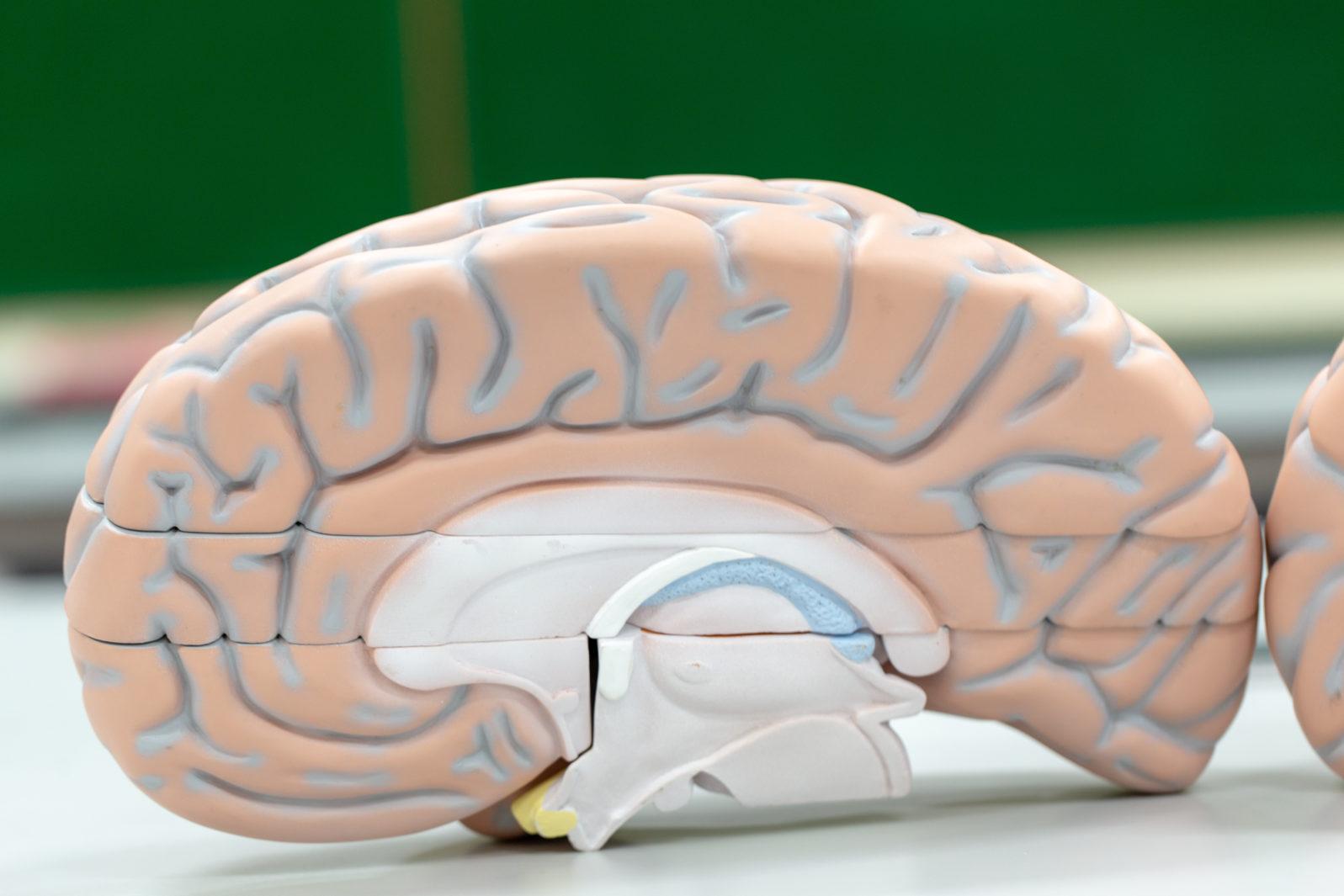 Human brain model for education in laboratory.