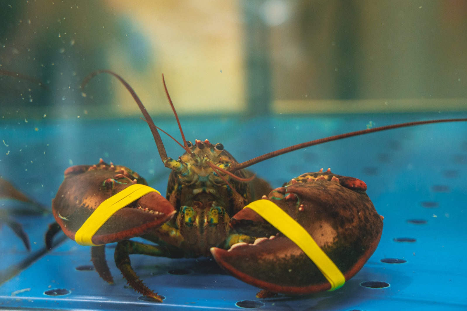 Live lobster in the aquarium. Product in the supermarket. Close up photo of big lobsters in water tank for sale